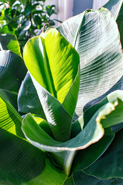 Planten - Musa