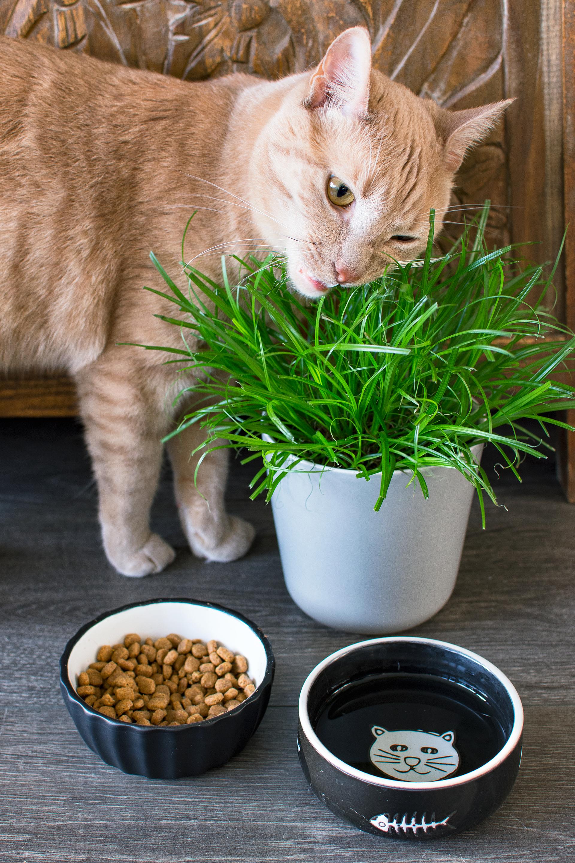 Plant- Kattengras