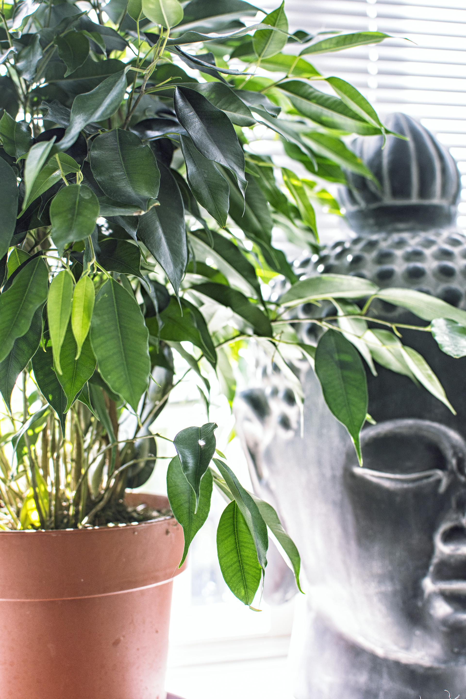 Planten - Ficus