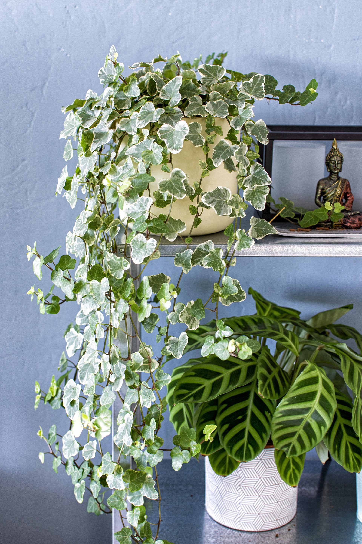 Planten - Hedera